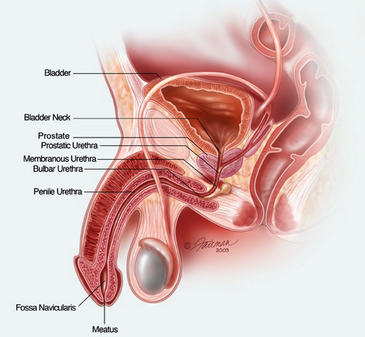 Male Anatomy - Bladder Neck Illustration