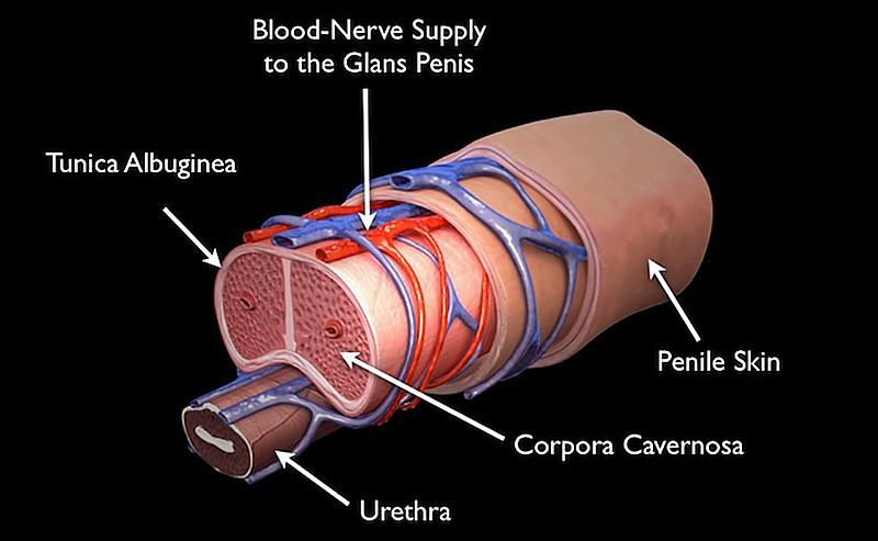 Penile cross-section anatomy illustration